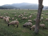 Sheep Pasturage